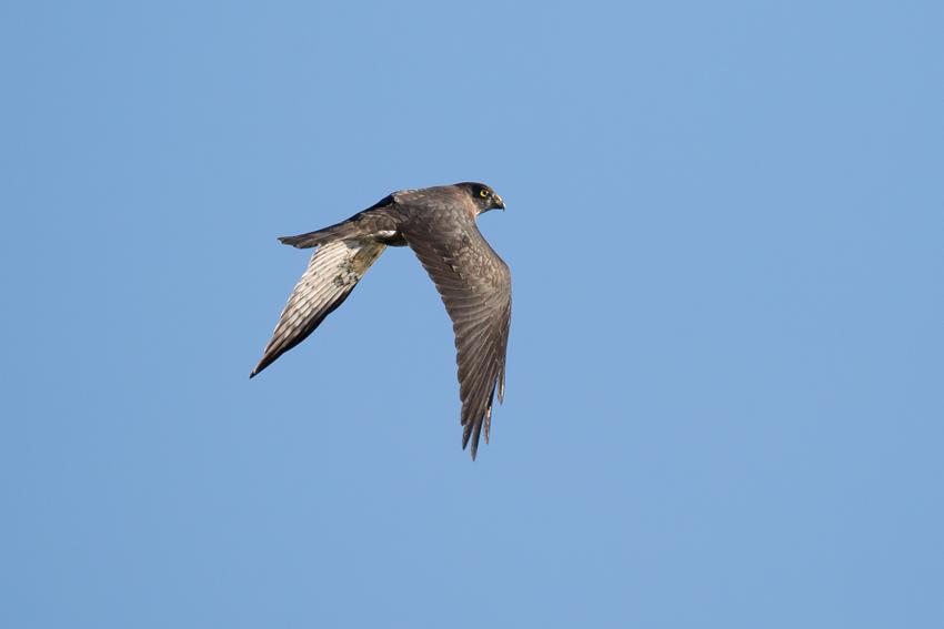 171006アカハラダカ幼鳥1