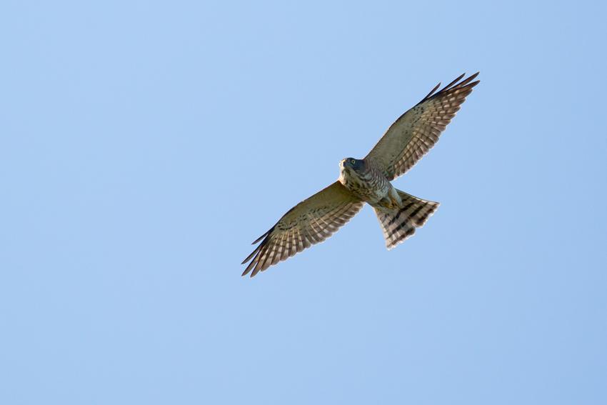 171006アカハラダカ幼鳥2