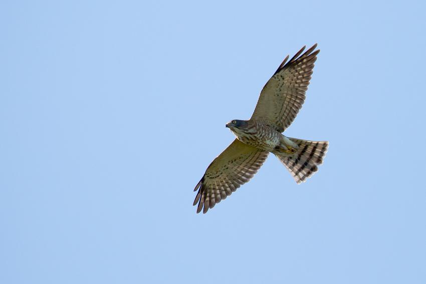 171006アカハラダカ幼鳥3