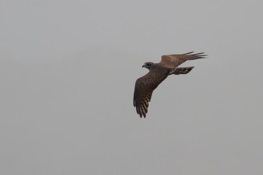 171011サシバ幼鳥2