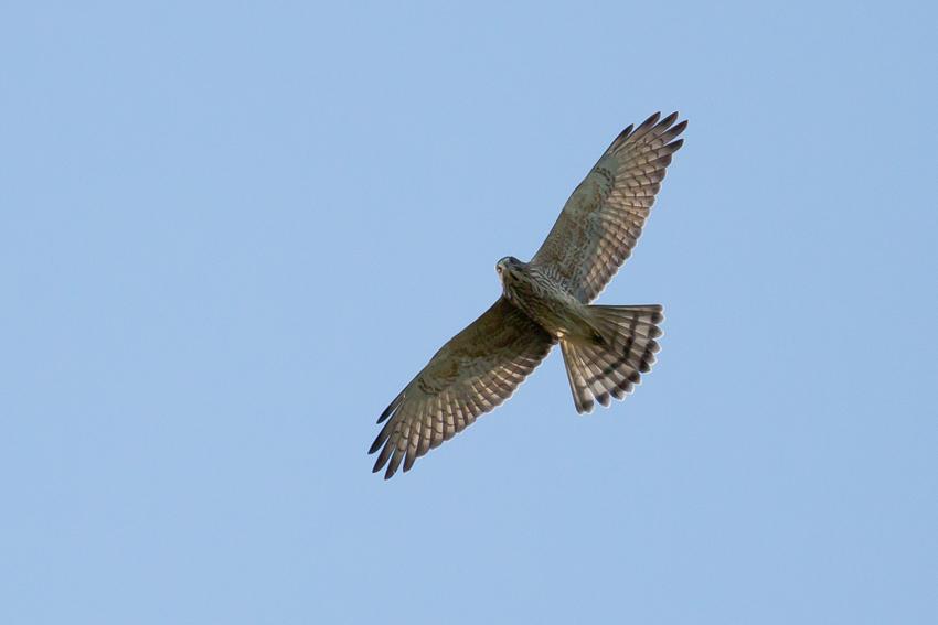 171011サシバ幼鳥3