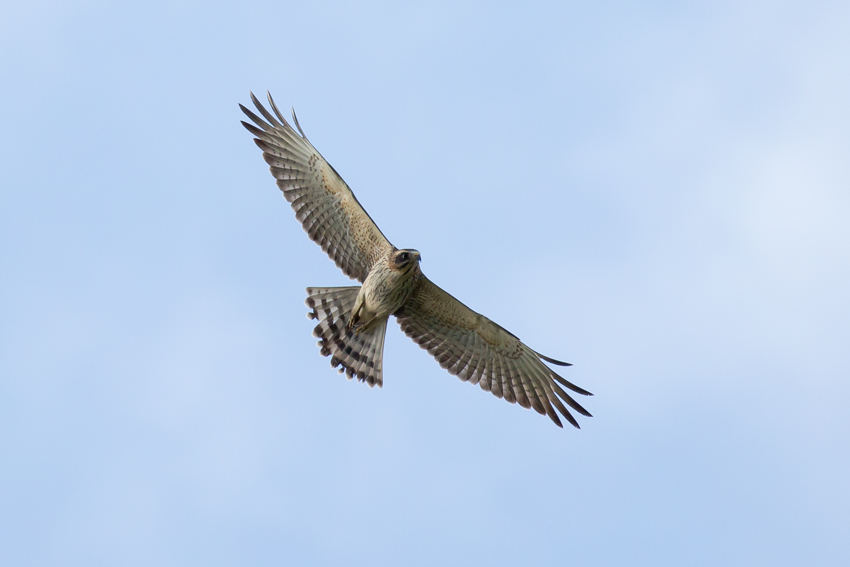 171011サシバ幼鳥4