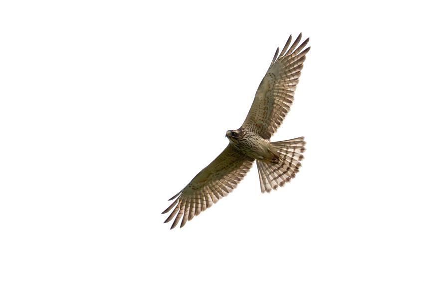 171016サシバ幼鳥1