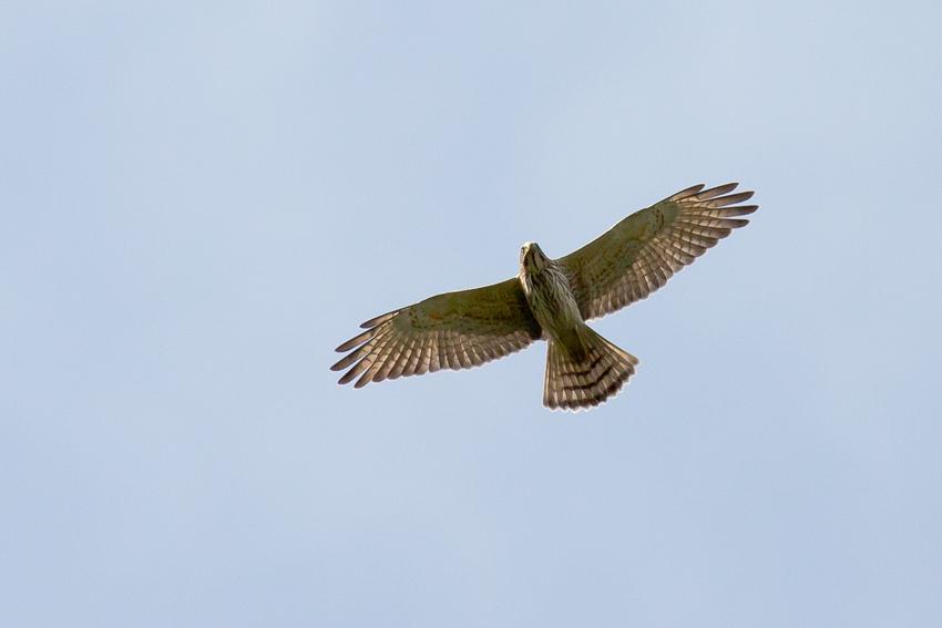 171016サシバ幼鳥2
