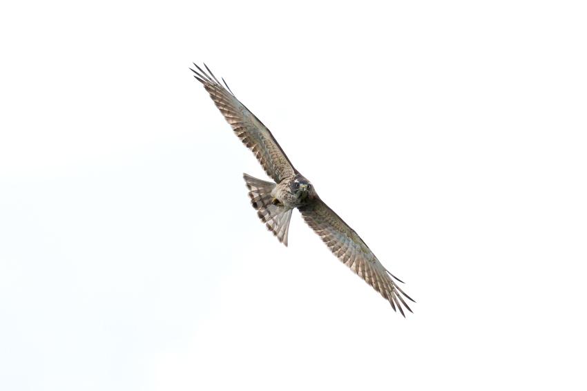 171016サシバ幼鳥3