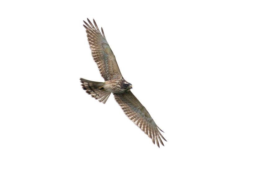 171016サシバ幼鳥4