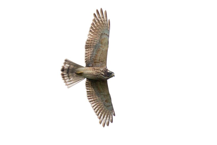 171016サシバ幼鳥5