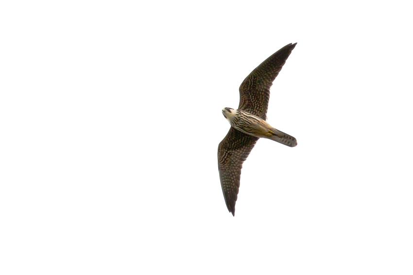 171016チゴハヤブサ幼鳥