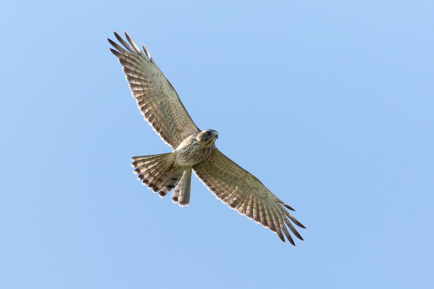 171018サシバ幼鳥3