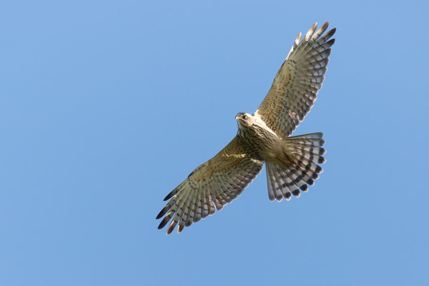 171018サシバ幼鳥1