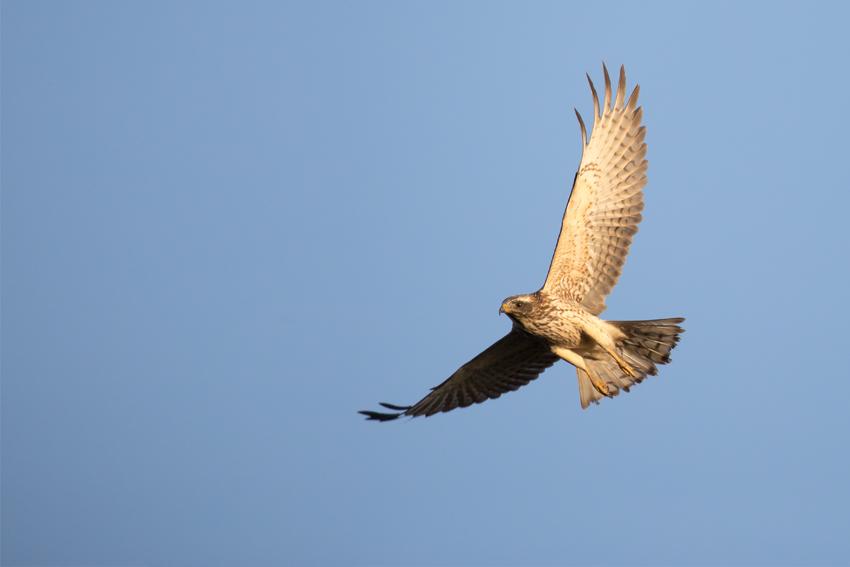 171024サシバ幼鳥2