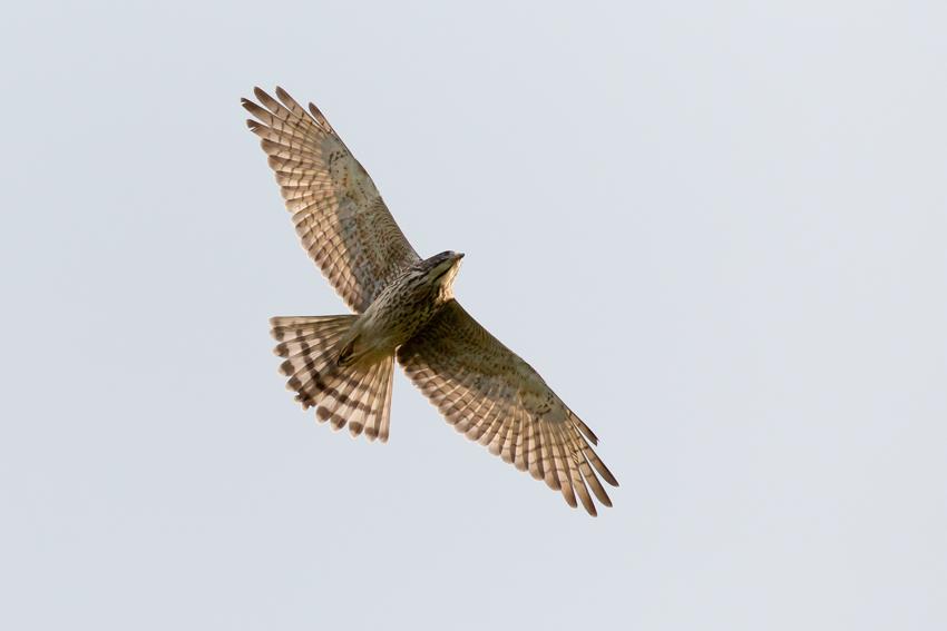 171024サシバ幼鳥3