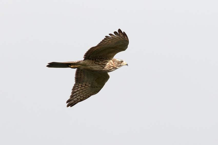 171024サシバ幼鳥4