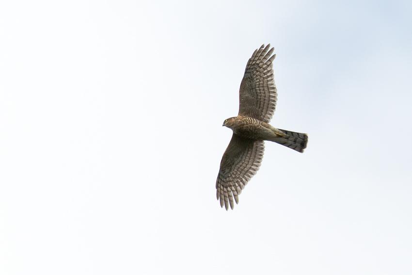 171024ハイタカ幼鳥1