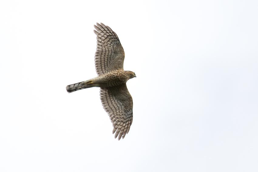 171024ハイタカ幼鳥0