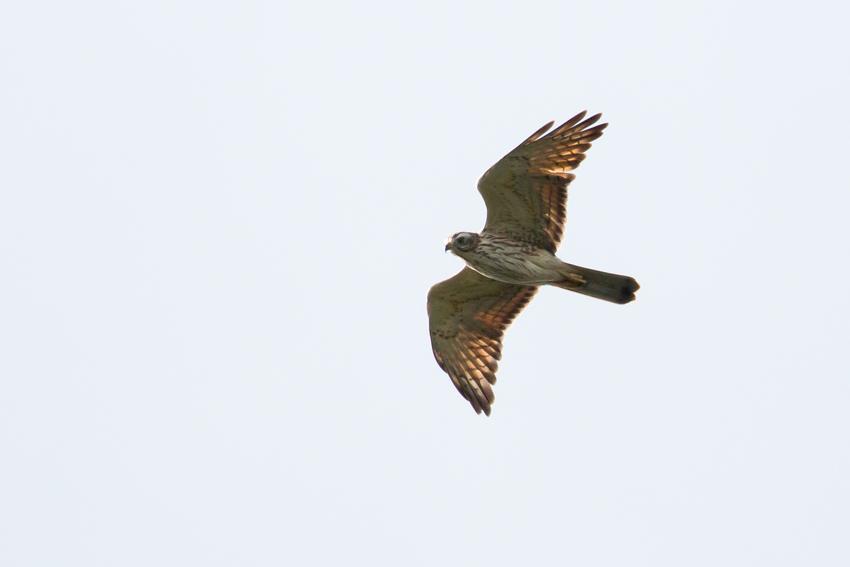 171102サシバ幼鳥1