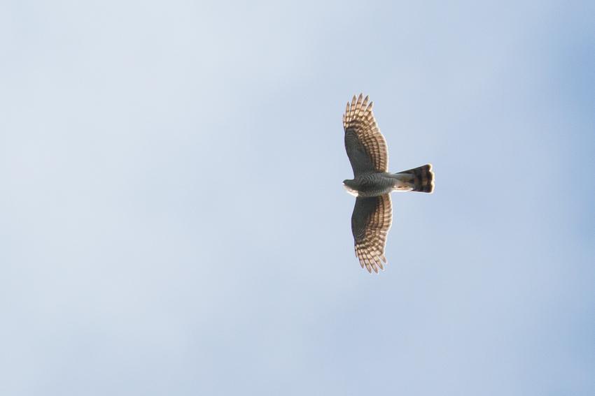 171102ハイタカ幼鳥