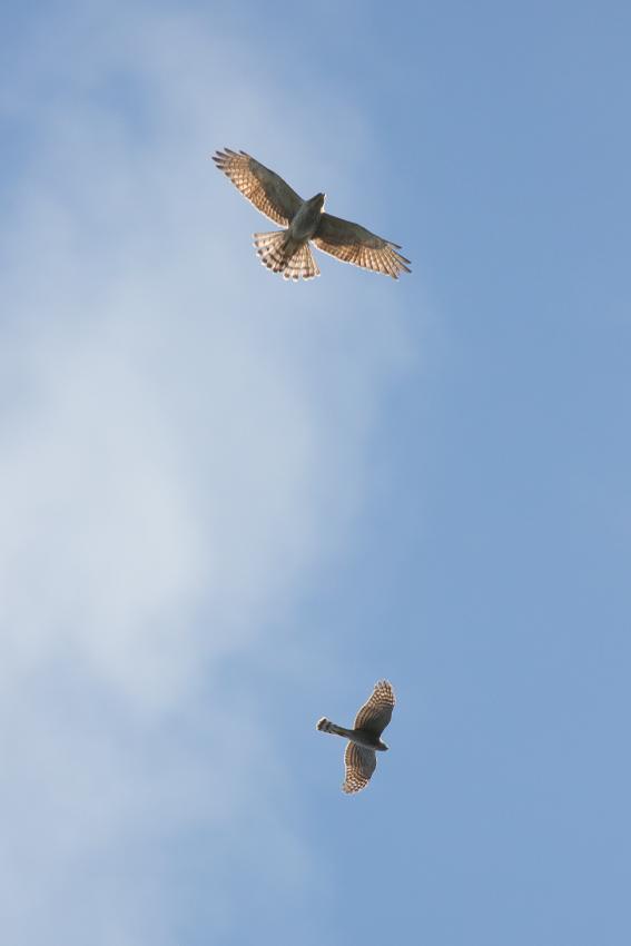 171102ハイタカ幼鳥_サシバ幼鳥1