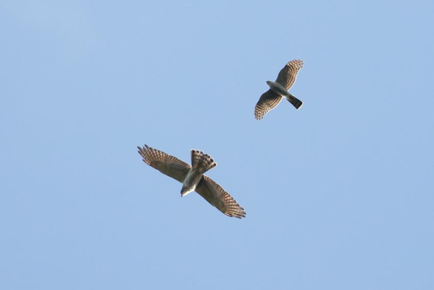 171102ハイタカ幼鳥_サシバ幼鳥3