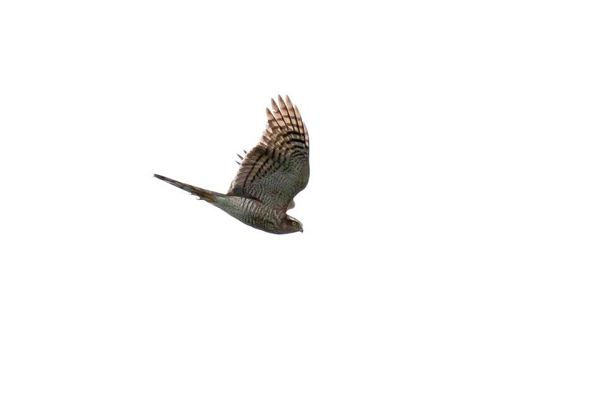 171103ハイタカ幼鳥