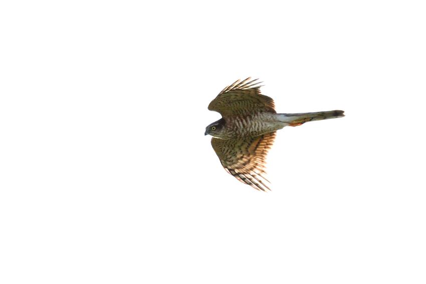 171102ハイタカ幼鳥1