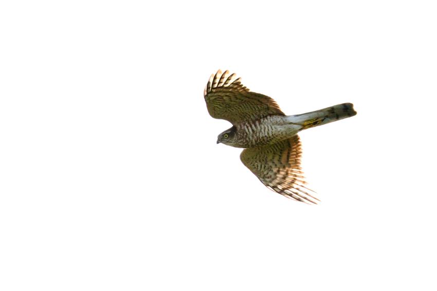 171102ハイタカ幼鳥2