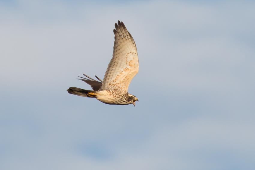 171105サシバ幼鳥