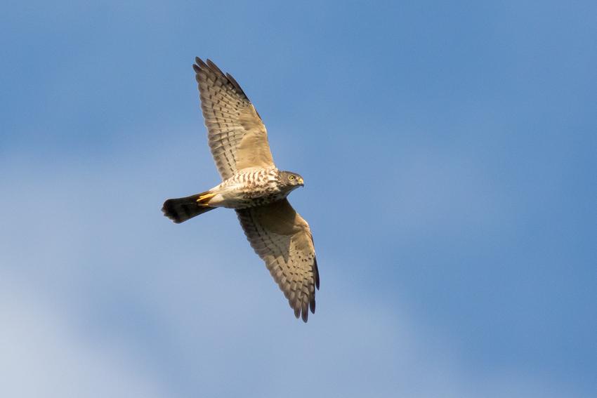 171105アカハラダカ幼鳥3