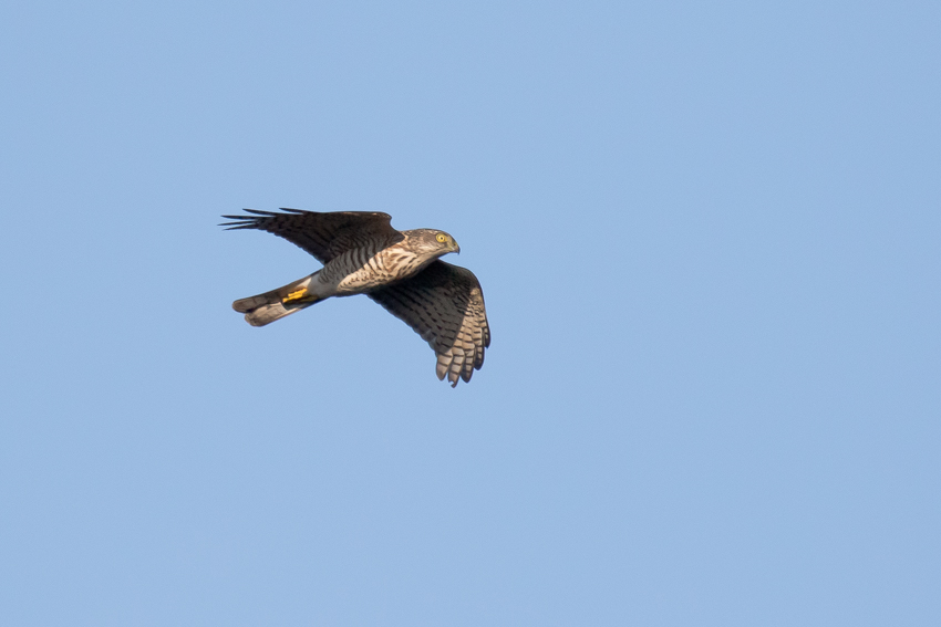 171109ツミ幼鳥1