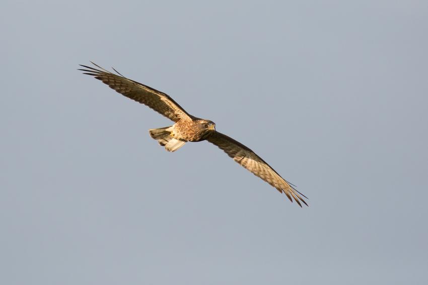 171115サシバ幼鳥0