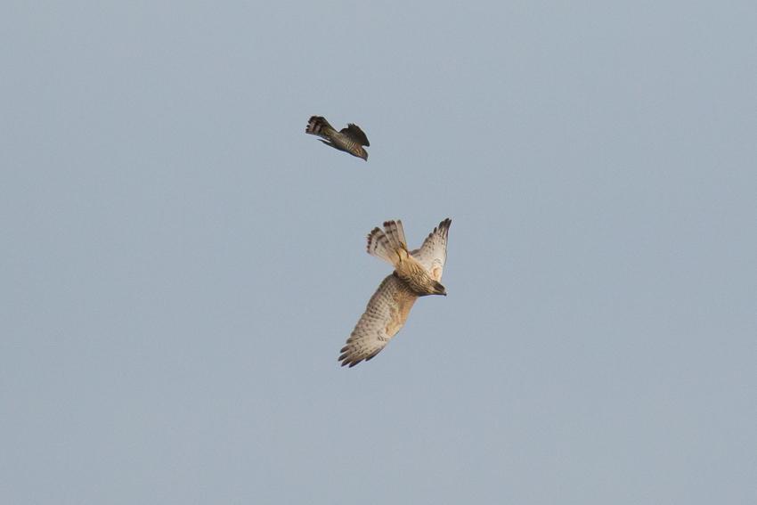 171115ツミ幼鳥×サシバ幼鳥1