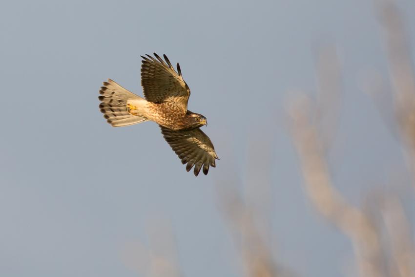 171115サシバ幼鳥1