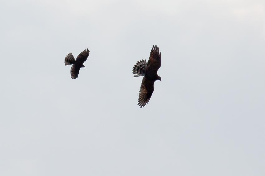 171115ツミ幼鳥×サシバ幼鳥2