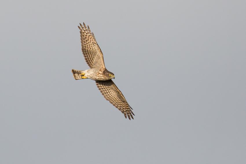 171115ツミ幼鳥1