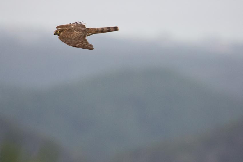 171116ハイタカ幼鳥2