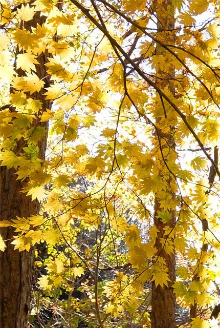 5529 照葉峡の黄葉 430×640