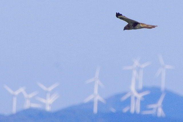 秋の渡り ノスリ 佐多岬半島の風車を背景に