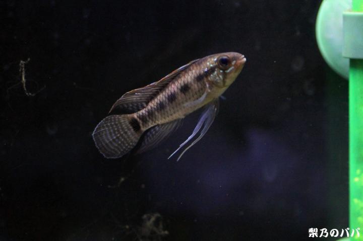 A.ベリフェラ♂11