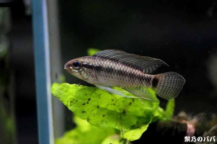 A.ベリフェラ♂12