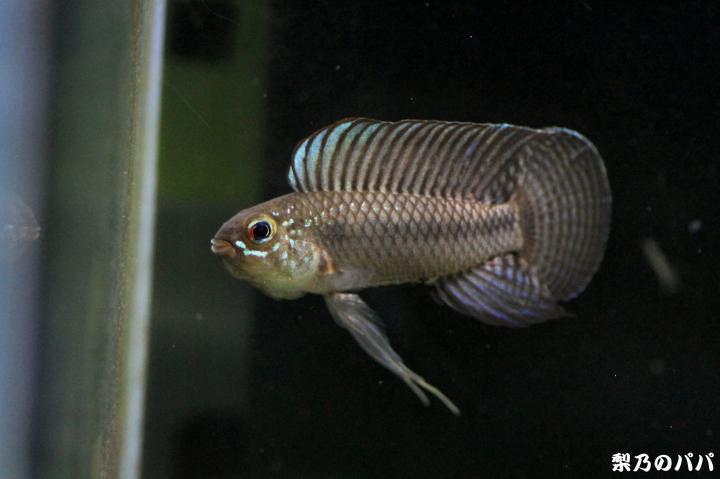 A.ベリフェラ♂14