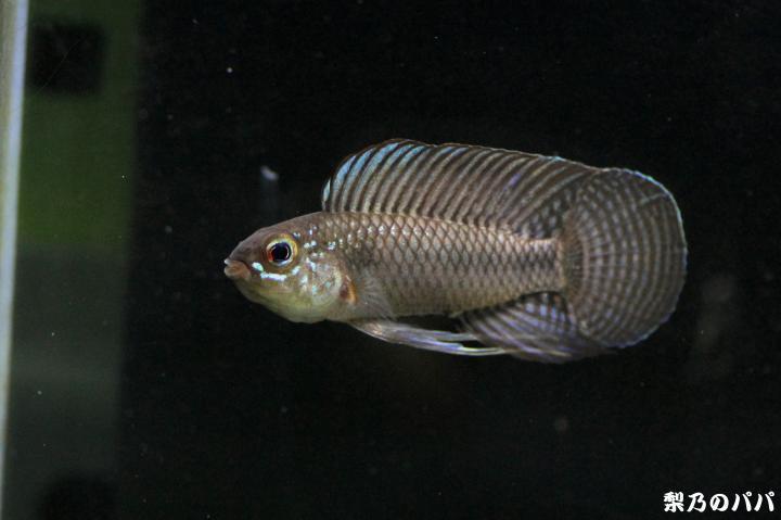 A.ベリフェラ♂15