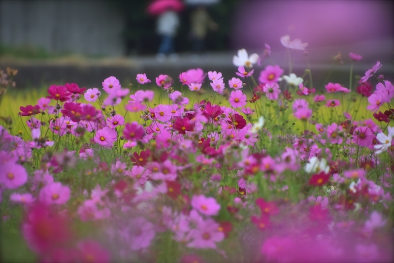雨の降る日も秋桜日和