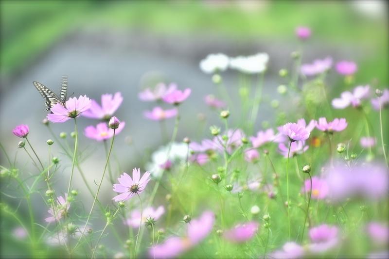 秋桜に夢中