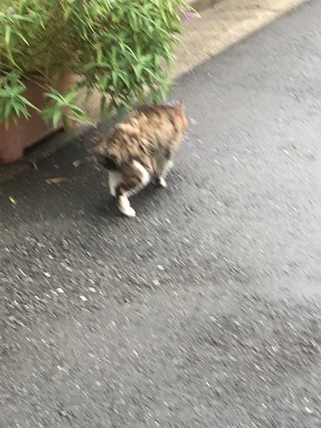 h29,925才の猫歩く