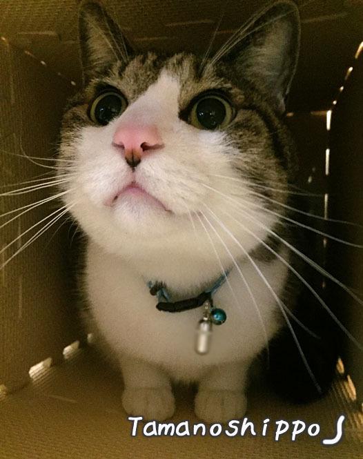 造りかけの爪とぎハウスの中で満足する猫(ちび)