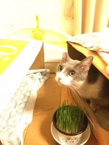 猫草大好き、ゆきち君。