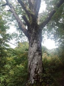 樹齢400年 一本ブナ