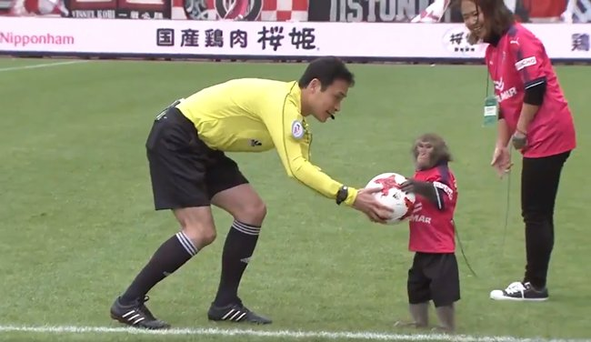 J League Cerezo Osaka Match Begins With Monkey In Football Kit Politely Handing Ball Over To Referee