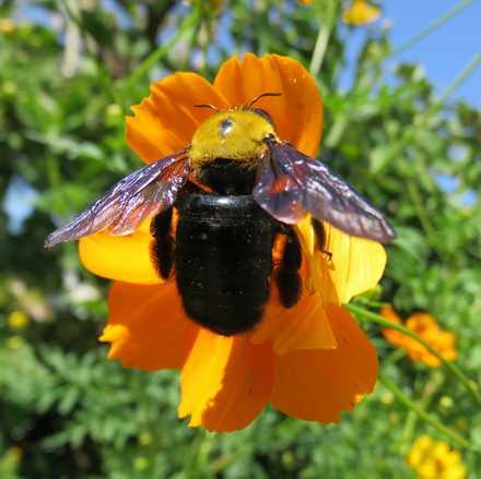 クマバチ 1