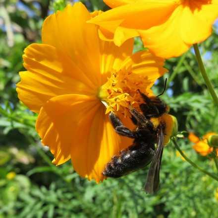クマバチ 2